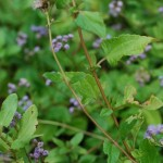 Betony Leaf Mist-Flower. Aster Family. Habitat: Dunes, roadsides, edges of woods.
