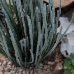 Candelilla. Spurge Family. Blooms: After rains. Habitat: Trans-Pecos region of Texas to Mexico.