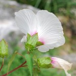 Scarlet Rose-Mallow. Mallow family. Blooms: May-November Habitat: Marshes and shallow water.