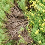 Damianita. Sunflower family. Blooms: April-September Habitat: Limestone soils of dry, rocky plains & mountains.