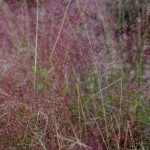 Gulf Muhly. Grass family. Blooms: Late summer- fall Habitat: Sandy prairies and openings in pine forests.