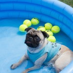 A pug from Pug Rescue of Austin with dislocated legs cools off. Photo by Rebecca Wright