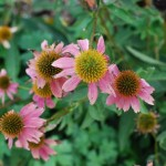 Purple Cone Flower. Sunflower family Blooms: May-September Habitat: Rocky open woods and thickets.