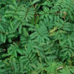 Sensitive Briar. Legume Family. Blooms: April-July Habitat: Common on rocky, chalky, or sandy soils.