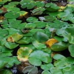 White Water Lily. Blooms: March-October Habitat: Ponds, lakes, ditches, and slow streams.