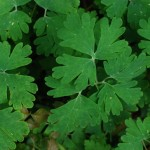 Wild Columbine. Crowfoot family. Blooms: Early spring. Habitat: Moist boulders, and ledges in travines and canyons.
