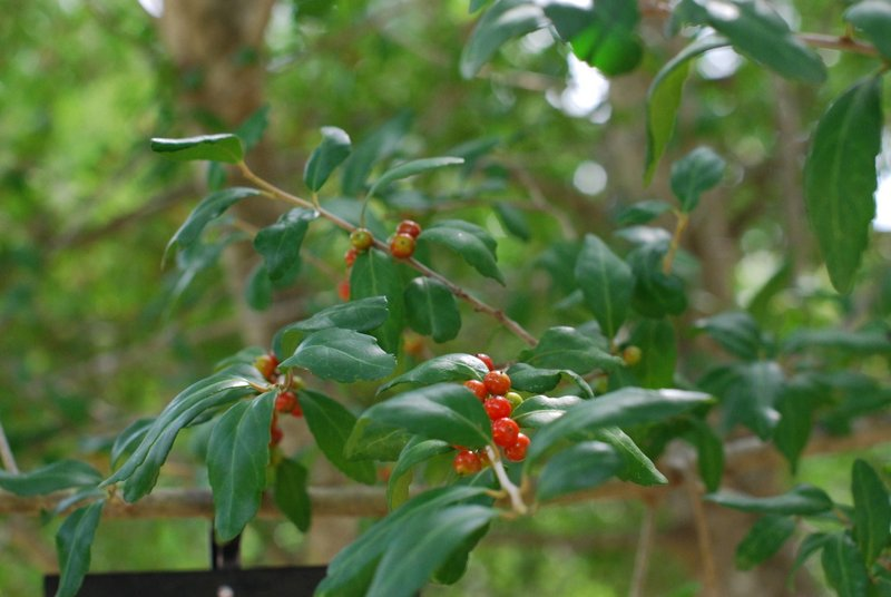 Yaupon. Holly Family. Blooms: April-May Habitat: Low woods, hammocks, sandy pine lands.
