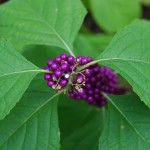 American Beauty Berry, Callicarpa americana. Vervain Family. Blooms May-July Habitat: Moist thickets, fencecrows, wet slopes & low bottomlands.