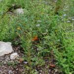 Autumn Sage. Salvia Greggi. Mint family  Habitat: Rocky slopes