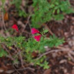Autumn Sage. Salvia Greggi. Mint family  Habitat: Rocky slopes