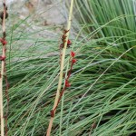 Brakelights Red Yucca. Agave Family. Blooms: March-July Central TX, Mexico. Habitat: Prairies, rocky slopes, and mesquite groves.