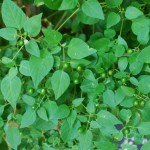 Chili Piquin. Nightshade family. Blooms: Throughout the year Habitat: Ledges along rivers, in thickets, and groves.