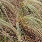 Mexican Feathergrass. Grass Family. Blooms: June-September Habitat: Open woods on rocky flats & slopes.