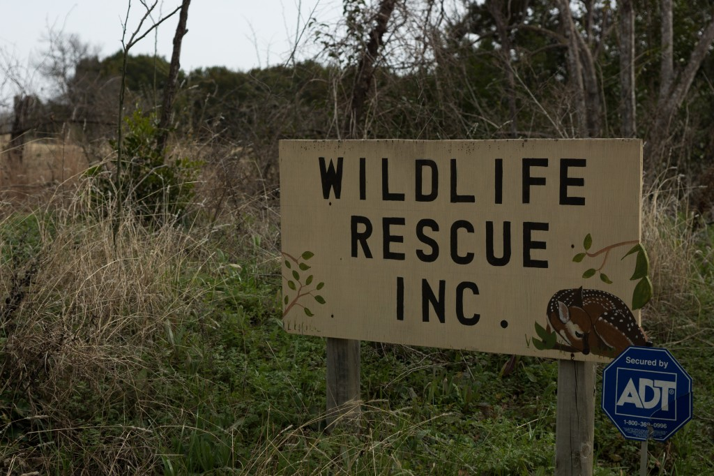 Wildlife rehabilitation organizations are a good place to start if you find an injured coyote or a wild animal that has been injured by a coyote. The health department had previously kept Austin Wildlife Rescure from taking in coyotes or foxes. This year should be different.