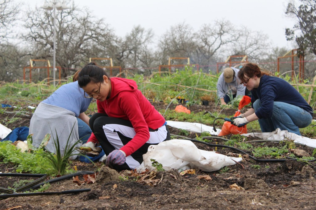A group of volunteers sew the fields at the Community First! gardens located in East Austin.