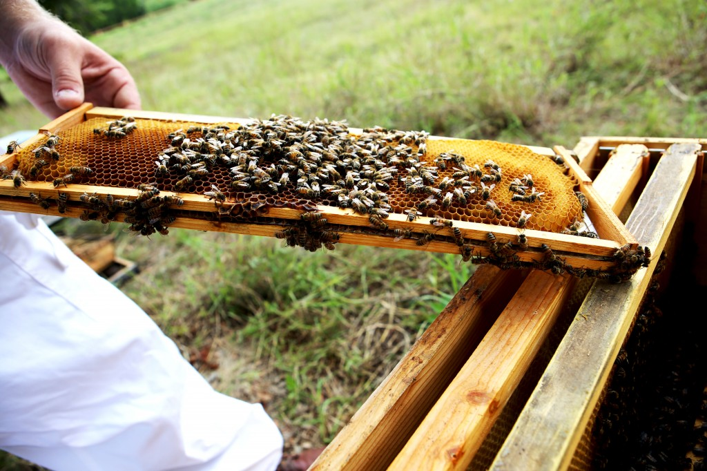 J. Tharladson shows a colony of bees pollinating a honeycomb tray at Round Rock Honey hive site in Round Rock, Texas. (Photograph by Alice Kozdemba)