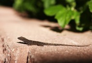 A brown anole lizard suns itself in the Rio Grande Valley of Texas, one of the areas in which this lizard, native to Cuba,  is now present.