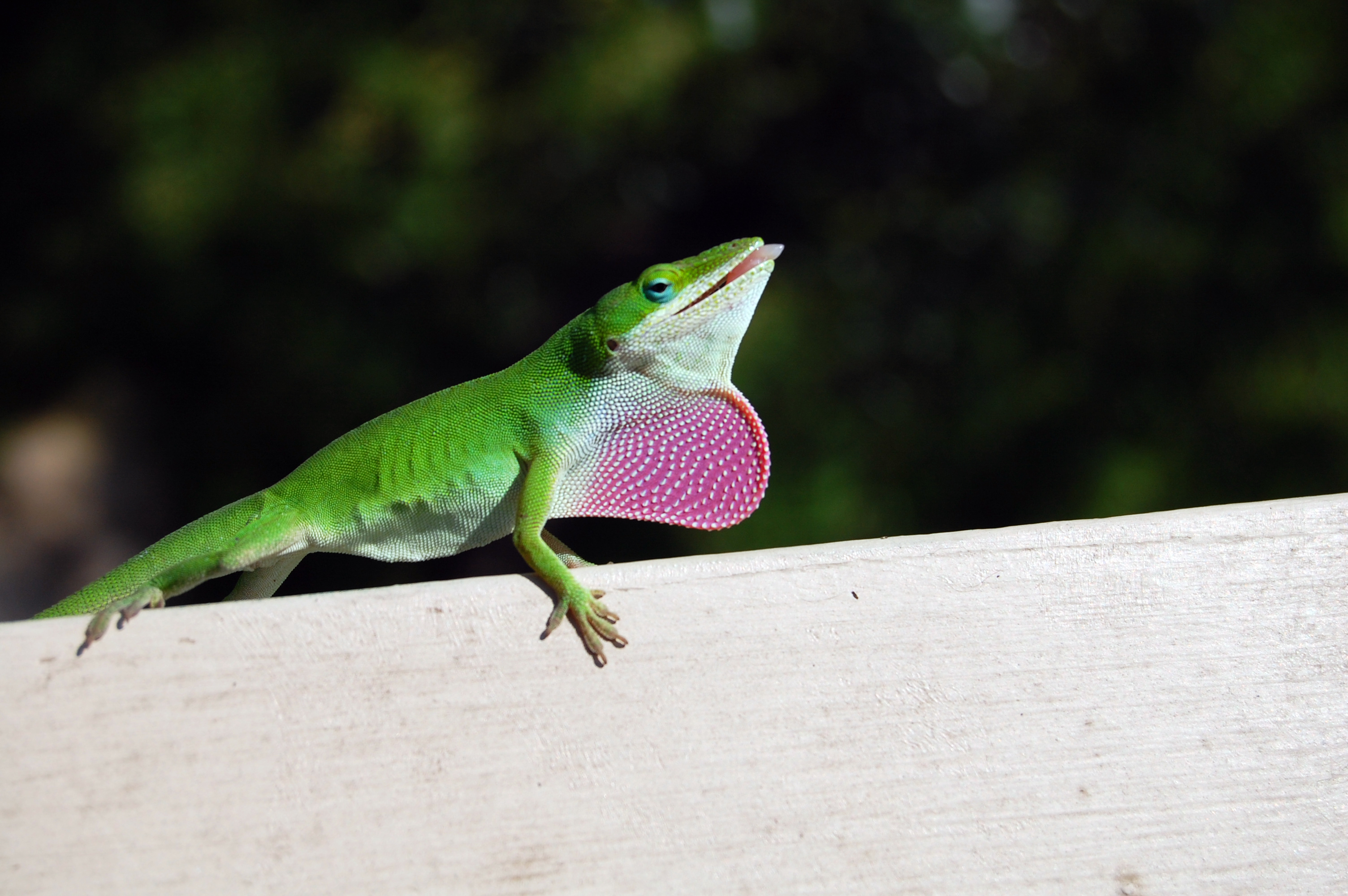 anole8