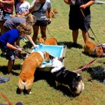 Corgi meet-up attendees play and cool off in the dog water pool at Moontower Saloon. The special event was a success with kids and dogs enjoying each others' company on a hot summer day.