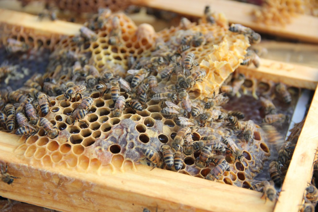 The inside of a Round Rock Honey bee hive is revealed, while bees attend to their honeycomb. A colony of hives can hold up to 60,000 bees on average