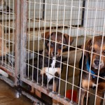 Two puppy siblings look wary of their new home at The Lockhart  Animal Shelter. (Photo by Stephanie Rothman)