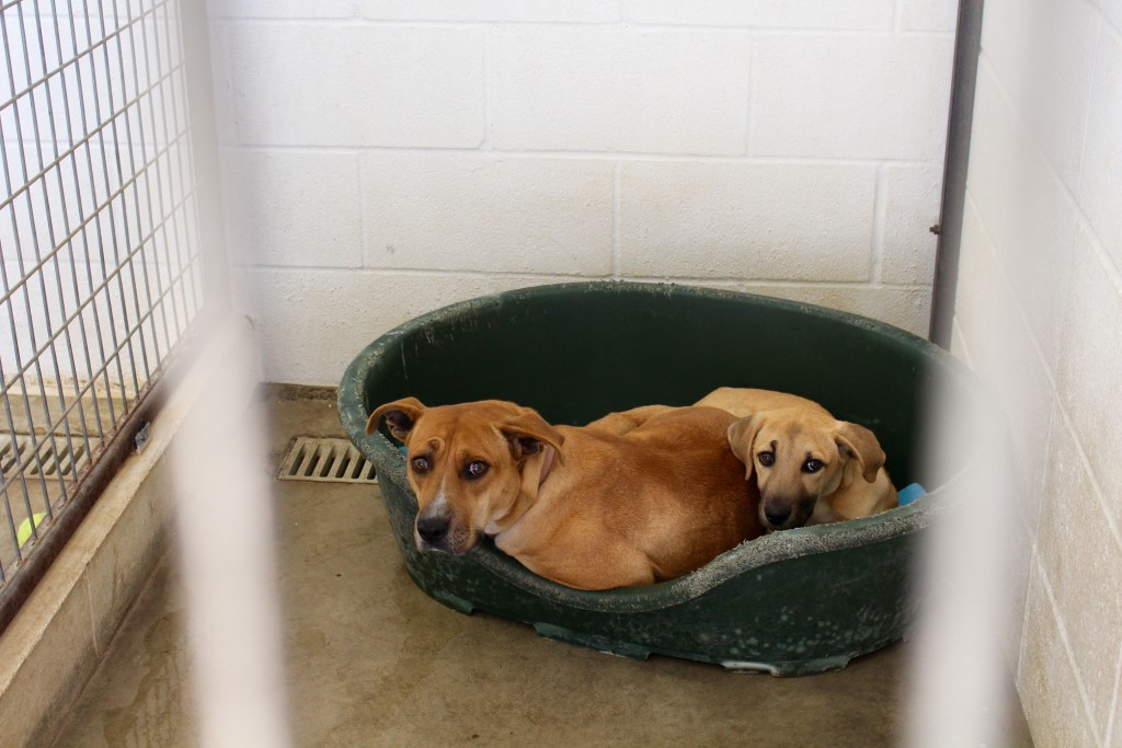 Two puppy siblings look wary of their new home at The Lockhart Animal Shelter.