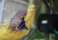 A bat at Austin Bat Refuge. Photo by Kelsey Machala
