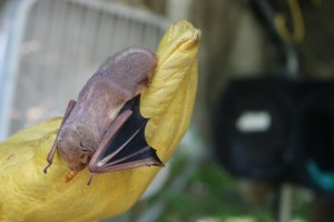 A bat at Austin Bat Refuge. Photo by Kelsey Machala